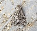 (2279) The Sycamore (Acronicta aceris) - Flickr - Bennyboymothman (1).jpg