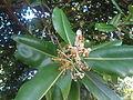 (Calophyllum inophyllum) at VUDA Park 09.JPG