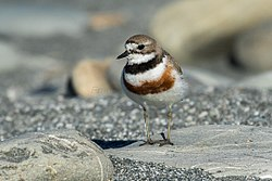 (Double) banded Plover - New Zealand (39219416491).jpg