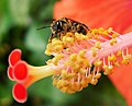 (Orange-footed Flower Bee) Lasioglossum xanthopus (43564669132).jpg