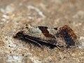 ?Falseuncaria ruficiliana - Red-fringed conch (26451640657).jpg