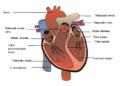 Širdies sandara Pav 2.png
