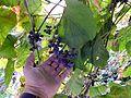 Амурский виноград созрел ф2.JPG