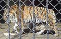 Амурский тигр (Penza Zoo 2009).jpg