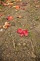 Гатчина. Приоратский парк. Осенний лист.jpg