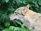Европейский волк.jpg
