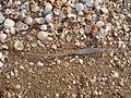 Залишки морских тварин на Арабатської стрілці,.jpg