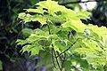 Клен сахарный - Acer saccharum.jpg