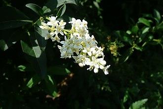 Ligustrum vulgare - Image: Растения в Седово 272