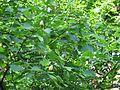 Тюльпановое дерево IMG 0765.jpg