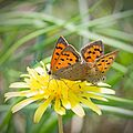 Червонец пятнистый (Многоглазка пятнистая) - Small Copper (American Copper, Common Copper) - Lycaena phlaeas - Малка огневка - Kleiner Feuerfalter (30850538673).jpg