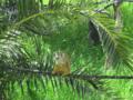 קוף סנאי Saimiri.webp