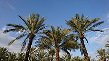 Date Palms in Behbahan, Iran