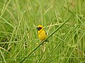 นกกระจาบทอง Asian Golden Weaver by Peak Hora 08.jpg