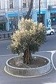 ზეთისხილის ხე, Olive tree - panoramio.jpg