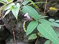 ヌスビトハギ(盗人萩)(Desmodium podocarpum subsp. oxyphyllum)-花と実 (8191815761).jpg
