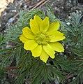 側金盞花 Adonis amurensis -南韓南怡島 South Korea- (33141010383).jpg