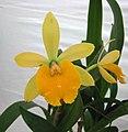 小黃鶯 Epicattleya Rene Marques x Rhyncattleanthe Free Spirit -香港花展 Hong Kong Flower Show- (33792208446).jpg
