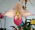 拖鞋蘭屬 Phragmipedium schlimii 'Birchwood' -香港青松觀蘭花展 Tuen Mun, Hong Kong- (33538541714).jpg