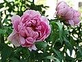 日本牡丹-百花殿 Paeonia suffruticosa Hyakkaden -日本大阪長居植物園 Osaka Nagai Botanical Garden, Japan- (12537245293).jpg