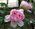日本牡丹-色自慢 Paeonia suffruticosa Iro-jiman -日本大阪長居植物園 Osaka Nagai Botanical Garden, Japan- (9204834881).jpg