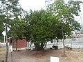 東島池公園 奇妙な木の実の木 - panoramio.jpg