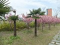 桃花盛开 - Blossoming Peach - 2010.04 - panoramio.jpg