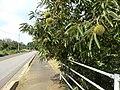歩道にせり出して栗が実る - panoramio.jpg