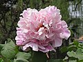 牡丹-朝陽紅 Paeonia suffruticosa 'Morning-Sun Red' -洛陽西苑公園 Luoyang, China- (12452663414).jpg