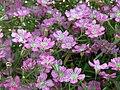 紅花蔓枝滿天星 Gypsophila repens 'Rosea' -香港北區花鳥蟲魚展 North District Flower Show, Hong Kong- (39249521012).jpg