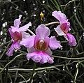 萬代蘭 Vanda Miss Joaquim -新加坡植物園 Singapore Botanic Gardens- (9240278522).jpg