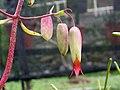 落地生根 Bryophyllum pinnatum (Kalanchoe pinnata) -香港西貢獅子會自然教育中心 Saikung, Hong Kong- (25154799219).jpg