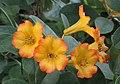 越桔杜鵑類 Rhododendron zoelleri -新加坡濱海灣花園 Gardens by the Bay, Singapore- (24461430473).jpg