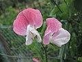 香豌豆 Lathyrus odoratus -英格蘭 Brockhole, England- (9204858933).jpg