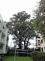 00079a Eichen an der Watzmannstraße in Aigen.jpg