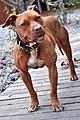 002 American Pit Bull Terrier.jpg