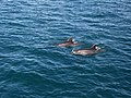 00 4801 Dolphins - Bay of Islands.jpg
