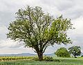 073 2015 05 25 Speierling südlich von Meckenheim (Wiki Loves Earth 2015).jpg
