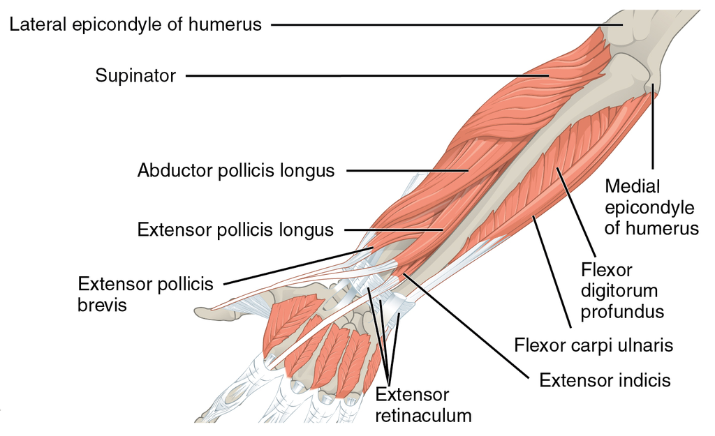 1120 Muscles that Move the Forearm Antebrach. Prof. Ext. Sin.png