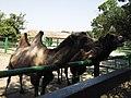 14.Двогорбий верблюд.jpg