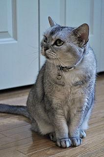 American Shorthair Breed of cat