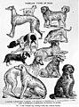 1800s-rampur-hound 1903 07.jpg