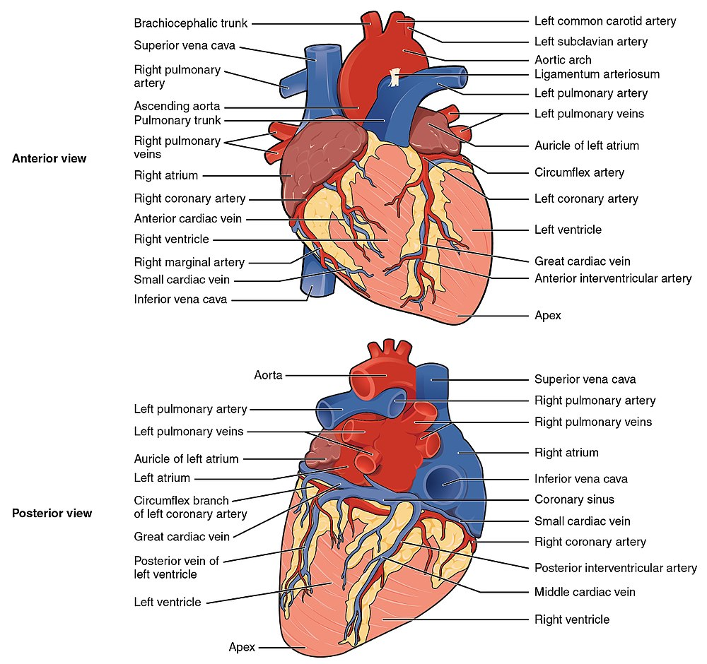 Coronary circulation eanswers illustration of coronary arteries the human heart viewed from the front and from behind pooptronica Images