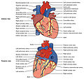 2005 Surface Anatomy of the Heart.jpg