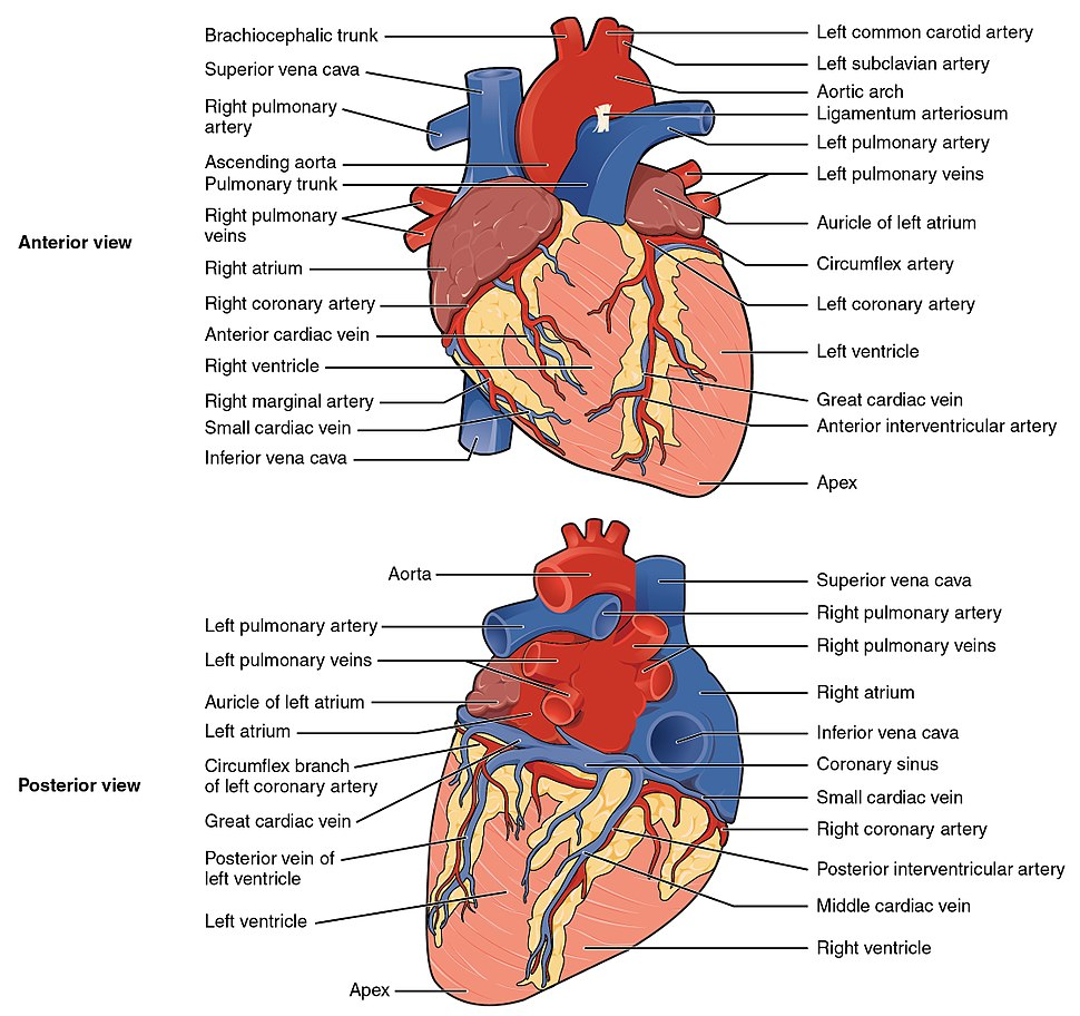 2005 Surface Anatomy of the Heart