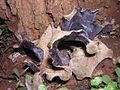 2007-10-17 Auricularia polytricha (Mont.) Sacc 6978.jpg