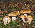 2009-09-15 Russula foetens Fr 57077.jpg