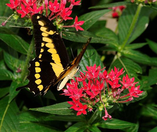 2012-07-20 14-39-22-Papilio cresphontes.jpg