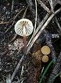2012-09-23 Marasmius torquescens Quel 311984.jpg