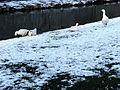 20130313 Geese, snow, Jeker, Stadspark Maastricht.JPG